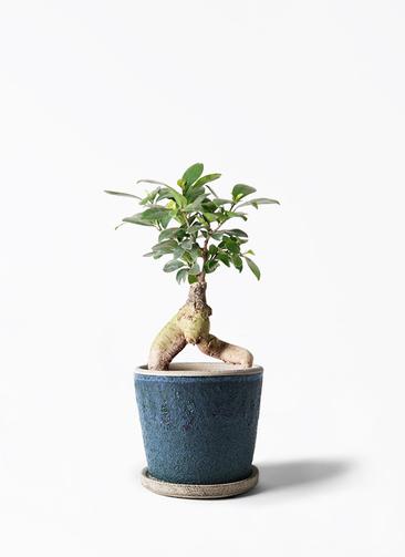 観葉植物 ガジュマル 4号 股仕立て フェイバーポット ブルー 付き