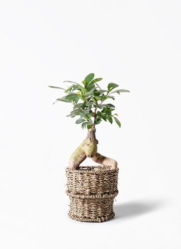 観葉植物 ガジュマル 4号 股仕立て バスケット 付き
