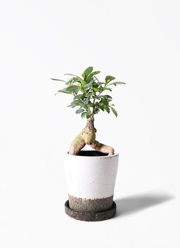 観葉植物 ガジュマル 4号 股仕立て ヴィフポット ホワイト 付き