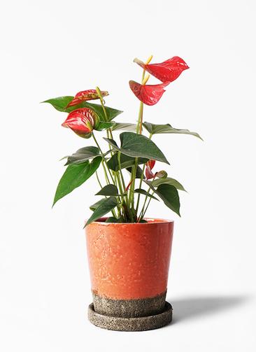 観葉植物 アンスリウム 4号 ダコタ ヴィフポット オレンジ 付き