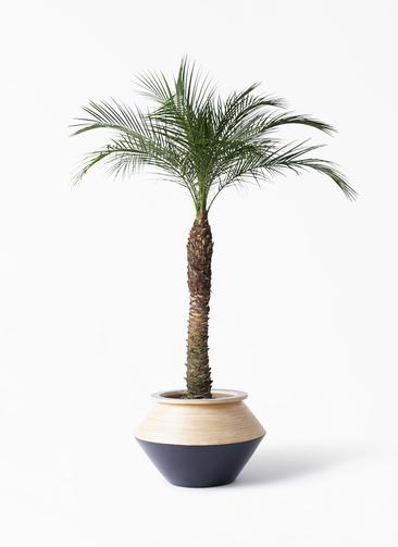観葉植物 フェニックスロベレニー 8号 アルマジャー 黒 付き