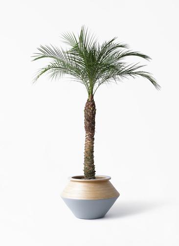観葉植物 フェニックスロベレニー 8号 アルマジャー グレー 付き
