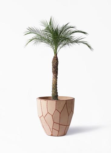 観葉植物 フェニックスロベレニー 8号 ウィスク 付き