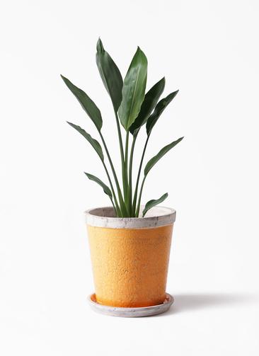 観葉植物  ストレリチア レギネ 6号 アンティークテラコッタOrange 付き