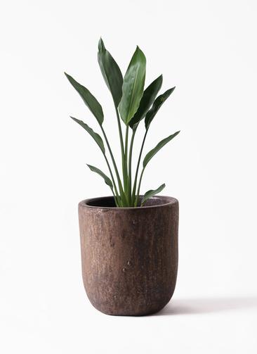 観葉植物 ストレリチア レギネ 6号 ビトロ ウーヌム コッパー釉 付き