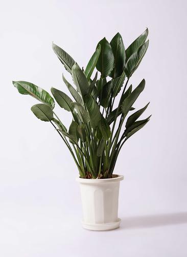 観葉植物 ストレリチア レギネ 10号 プラスチック鉢