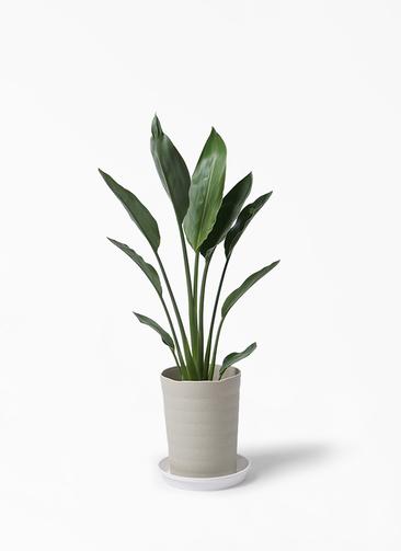 観葉植物 ストレリチア レギネ 6号 プラスチック鉢