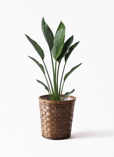観葉植物 ストレリチア レギネ 6号 竹バスケット 付き