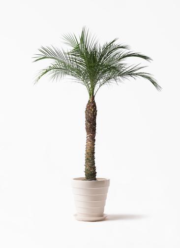 観葉植物 フェニックスロベレニー 8号 サバトリア 白 付き