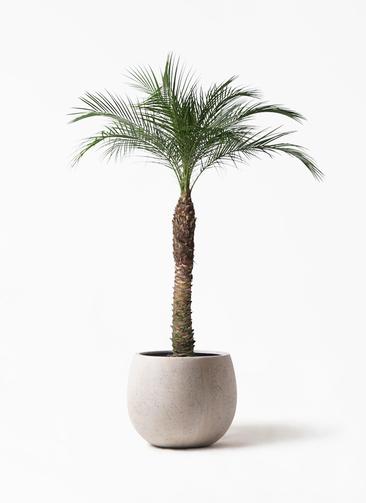 観葉植物 フェニックスロベレニー 8号 テラニアス ローバルーン アンティークホワイト 付き