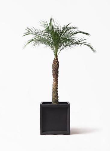 観葉植物 フェニックスロベレニー 8号 ブリティッシュキューブ 付き