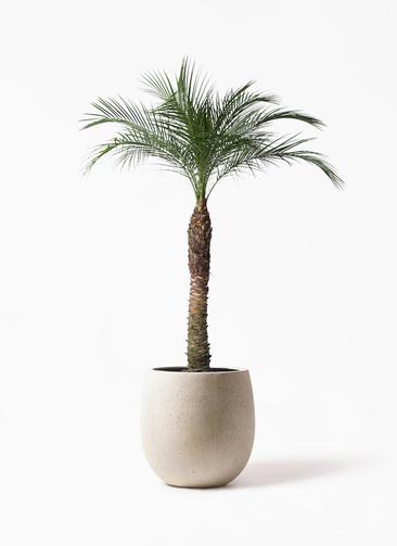 観葉植物 フェニックスロベレニー 8号 テラニアス バルーン アンティークホワイト 付き