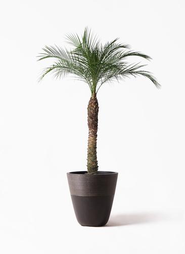 観葉植物 フェニックスロベレニー 8号 ジュピター 黒 付き