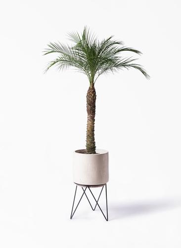 観葉植物 フェニックスロベレニー 8号 ビトロ エンデカ 鉢カバースタンド付 クリーム 付き