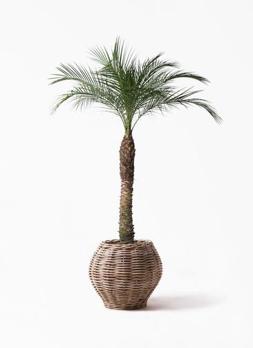 観葉植物 フェニックスロベレニー 8号 グレイラタン 付き
