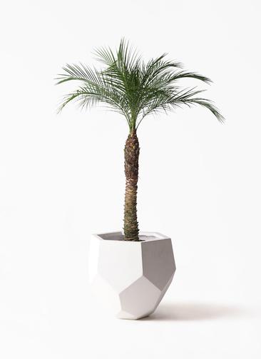 観葉植物 フェニックスロベレニー 8号 ポリゴヘクサ 白 付き
