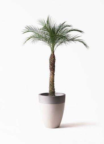 観葉植物 フェニックスロベレニー 8号 ファイバーストーンカプリ サンディホワイト 付き