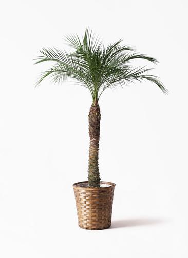 観葉植物 フェニックスロベレニー 8号 竹バスケット 付き