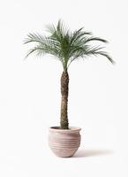 観葉植物  フェニックスロベレニー 8号 テラアストラ リゲル 赤茶色 付き