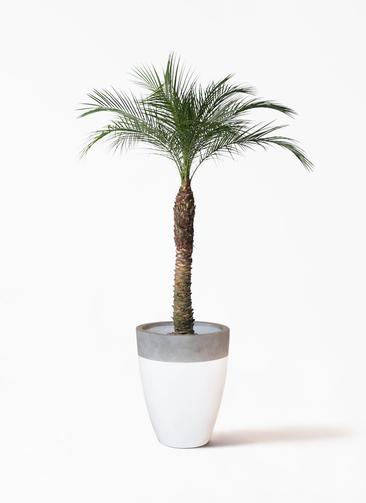 観葉植物 フェニックスロベレニー 8号 ファイバーストーンカプリ 白 付き
