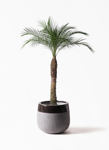 観葉植物 フェニックスロベレニー 8号 ファイバーストーンタウルス 黒 付き