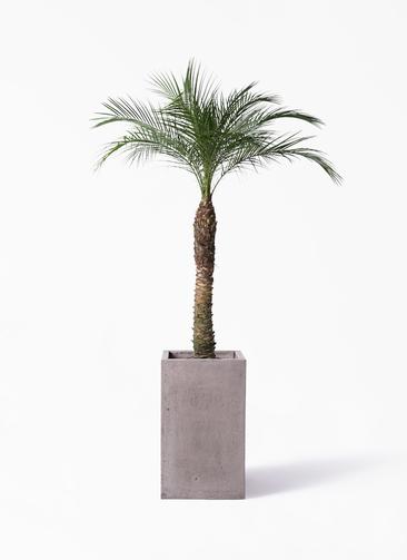 観葉植物 フェニックスロベレニー 8号 セドナロング グレイ 付き