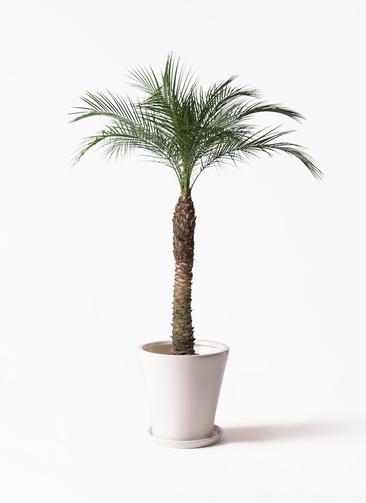観葉植物 フェニックスロベレニー 8号 サブリナ 白 付き