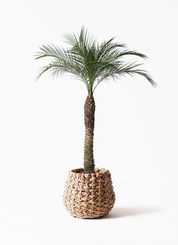 観葉植物 フェニックスロベレニー 8号 ラッシュバスケット Natural 付き