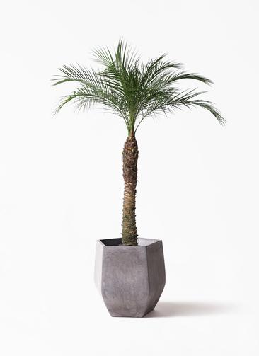 観葉植物 フェニックスロベレニー 8号 ファイバークレイ Gray 付き