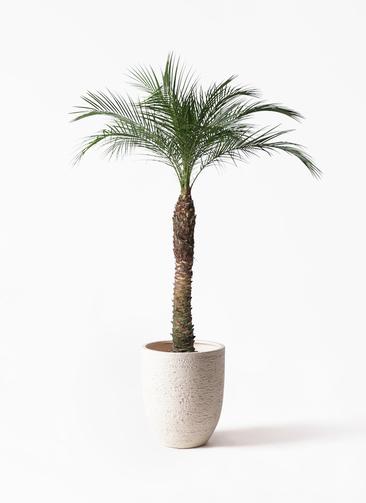 観葉植物 フェニックスロベレニー 8号 ビアスアルトエッグ 白 付き
