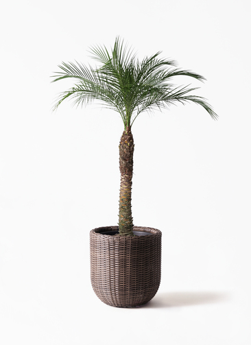 観葉植物 フェニックスロベレニー 8号 ウィッカーポットエッグ 茶 付き