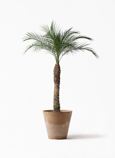 観葉植物 フェニックスロベレニー 8号 アートストーン ラウンド ベージュ 付き