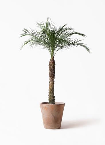 観葉植物 フェニックスロベレニー 8号 ルーガ アンティコ ソリッド 付き