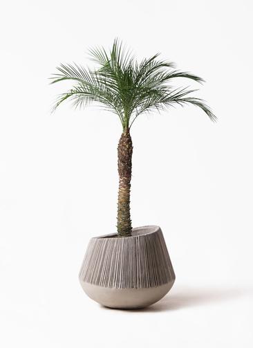 観葉植物 フェニックスロベレニー 8号 エディラウンド グレイ 付き