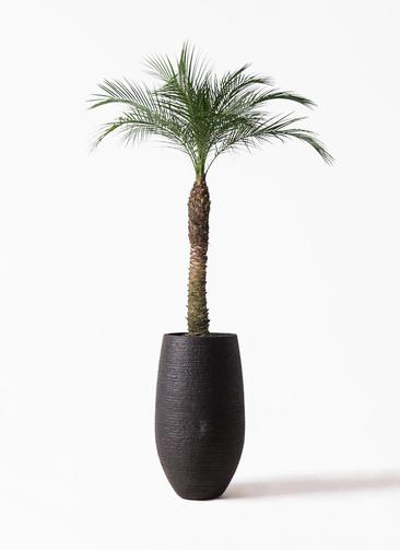 観葉植物 フェニックスロベレニー 8号 フォンティーヌトール 黒 付き