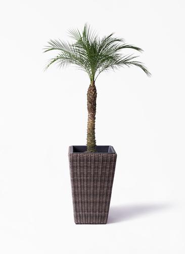 観葉植物 フェニックスロベレニー 8号 ウィッカーポット スクエアロング OT 茶 付き