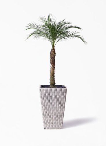 観葉植物 フェニックスロベレニー 8号 ウィッカーポット スクエアロング OT 白 付き