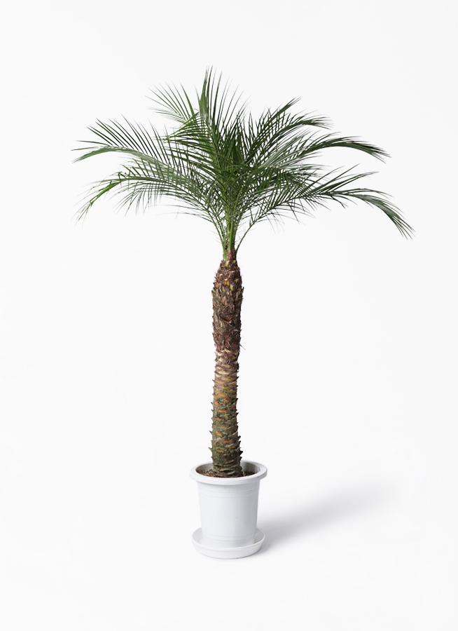 観葉植物 フェニックスロベレニー 8号 プラスチック鉢