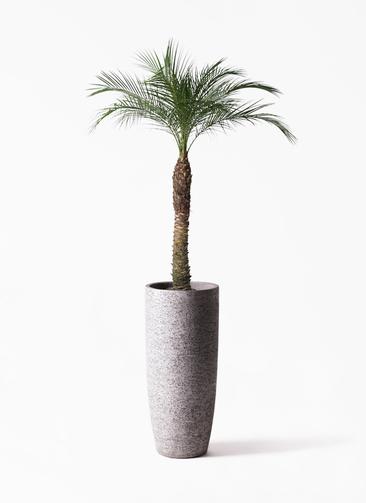 観葉植物 フェニックスロベレニー 8号 エコストーントールタイプ Gray 付き