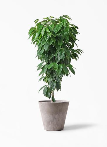 観葉植物 コーヒーの木 10号 アートストーン ラウンド グレー 付き