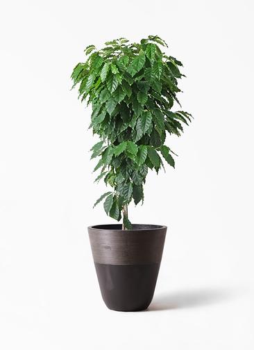 観葉植物 コーヒーの木 10号 ジュピター 黒 付き