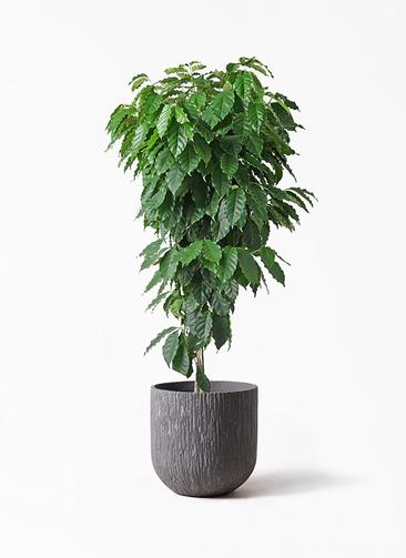 観葉植物 コーヒーの木 10号 カルディナダークグレイ 付き