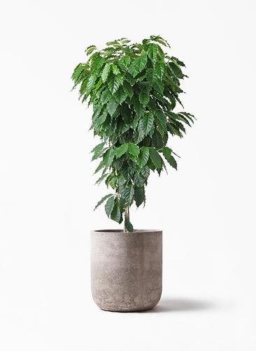 観葉植物 コーヒーの木 10号 エルバ 白 付き