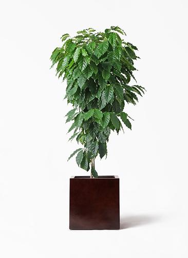 観葉植物 コーヒーの木 10号 MOKU キューブ 付き