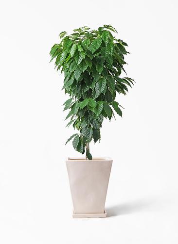 観葉植物 コーヒーの木 10号 スクエアハット 白 付き