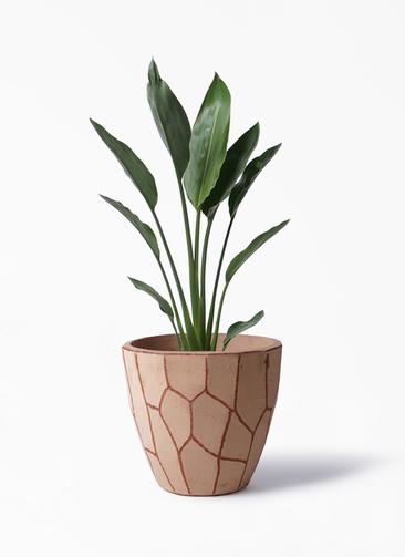 観葉植物 ストレリチア レギネ 6号 ウィスク 付き