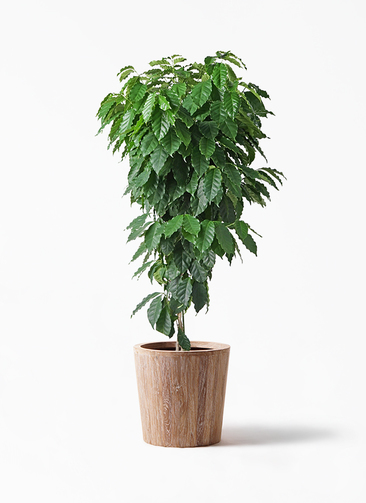 観葉植物 コーヒーの木 10号 ウッドプランター 付き