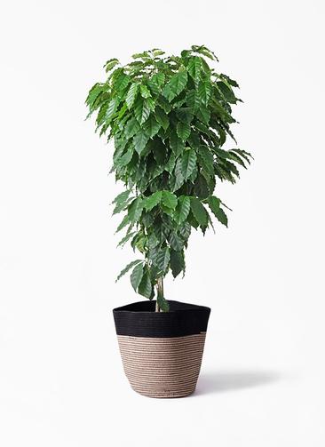 観葉植物 コーヒーの木 10号 リブバスケットNatural and Black 付き
