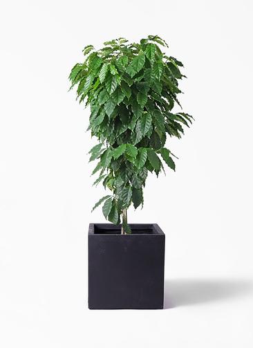 観葉植物 コーヒーの木 10号 ベータ キューブプランター 黒 付き