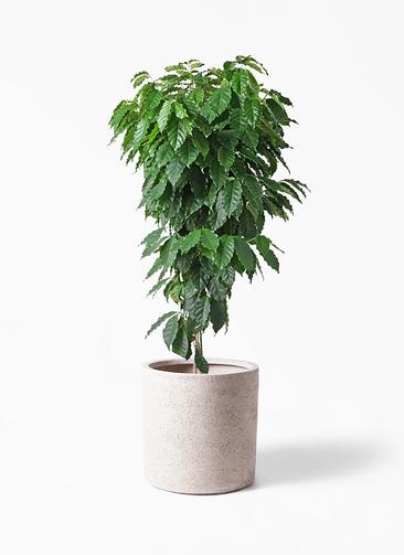 観葉植物 コーヒーの木 10号 サンディ シリンダー 白 付き